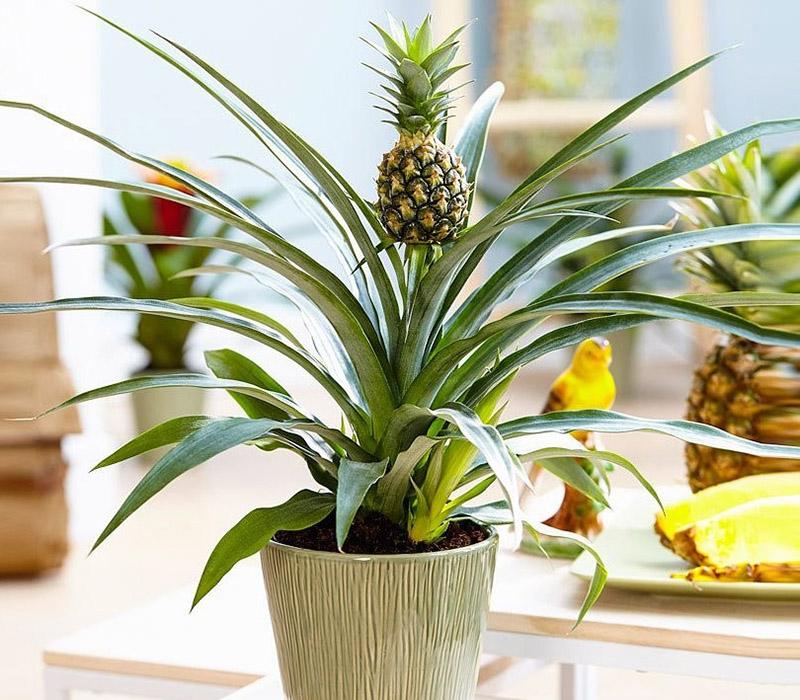 Саджанці екзотичних кімнатних рослин