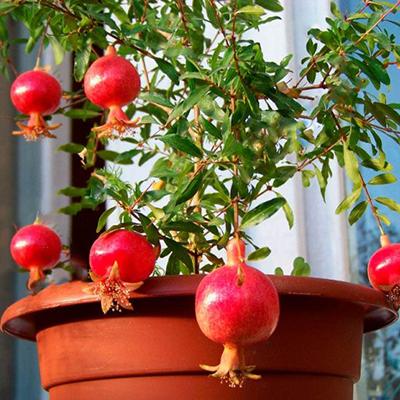 Саженцы экзотических комнатных растений