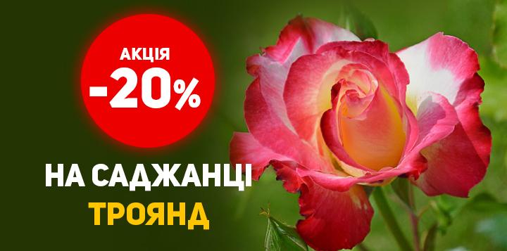 Знижка на саджанці троянд - 20%