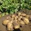 Картофель семенной Бюррен 5 кг, Овощной Дом 0