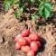 Картофель семенной Кристина 5 кг 2