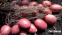 Картопля насіннева Лабелла 5 кг, Solana 0