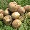 Картопля насіннева Саванна 5 кг 1
