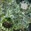 Дерен белый Сибирика (Sibirica) 1