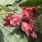 Фундук Варшавський (червонолистий) 0