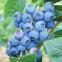 Голубика (черника садовая) Патриот, 1 год 0