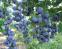 Голубика (черника садовая) Блю Кроп, 1 год 0