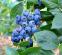 Лохина (чорниця садова) Бонус, 1 рік 0
