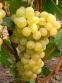 Виноград Августин 0
