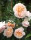 Роза английская Джинджер Силабаб (Ginger Silabub) 0