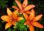 Лилия Pixels Apricot 0