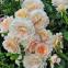 Роза английская Екскалибур (Excalibur) 0