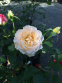 Роза английская Екскалибур (Excalibur) 1