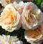 Роза английская Екскалибур (Excalibur) 2