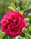 Роза английская Кинг Артур (King Arthur) 0