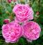 Роза английская Мерлин (Merlin) 0