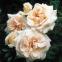 Роза английская Пенни Лейн (Penny Lane) 1