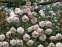 Роза английская Пенни Лейн (Penny Lane) 2