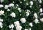 Троянда грунтопокривна Вайт Мейланд (White Meidiland) 0
