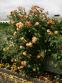 Троянда кордес Алоха (Aloha) 1