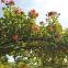 Троянда кордес Алоха (Aloha) 2