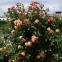 Троянда кордес Алоха (Aloha) 4