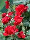 Троянда кордес Гранд Аморе (Grande Amore) 2