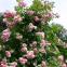 Роза кордес Жасмина (Jasmina) 1