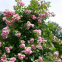 Троянда кордес Жасміна (Jasmina) 1