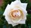 Роза английская Пенни Лейн (Penny Lane) 0