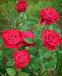 Роза миниатюрная Мейди (Maidy) 0