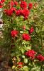 Троянда плетиста Нахеглут (Naheglut) 1