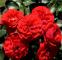 Троянда поліантова Кордула (Cordula) 0