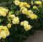Троянда флорібунда Фрезія (Friesia) 0