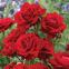 Троянда поліантова Лілі Марлен (Lilli Marellen) 0