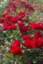 Троянда поліантова Лілі Марлен (Lilli Marellen) 1