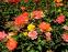 Роза флорибунда Самба (Samba) 0