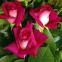 Роза чайно-гибридная Акапелла (Acapella) 0