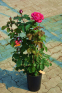 Роза чайно-гибридная Акапелла (Acapella) 2