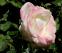 Роза чайно-гибридная Атена (Athena) 0