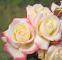 Роза чайно-гибридная Атена (Athena) 1