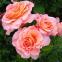 Роза чайно-гибридная Августа Луїза (Augusta Luise) 0
