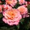 Роза чайно-гибридная Августа Луїза (Augusta Luise) 1