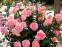 Роза чайно-гибридная Августа Луїза (Augusta Luise) 2
