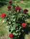Роза чайно-гибридная Блек Меджик (Black Magik) 1