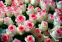 Роза чайно-гибридная Дольче Віта (Dolce Vita) 1