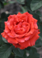 Троянда чайно-гібридна Ель Торо (El Toro) 0