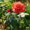 Троянда чайно-гібридна Перлина Гольштейна (Holstein Perle) 1