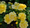 Роза чайно-гибридная Ландора (Landora) 1