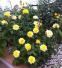 Роза чайно-гибридная Ландора (Landora) 2